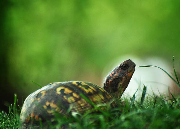 Box Turtle Photograph - Thankful For Leaping Greenly Spirits by Rebecca Sherman