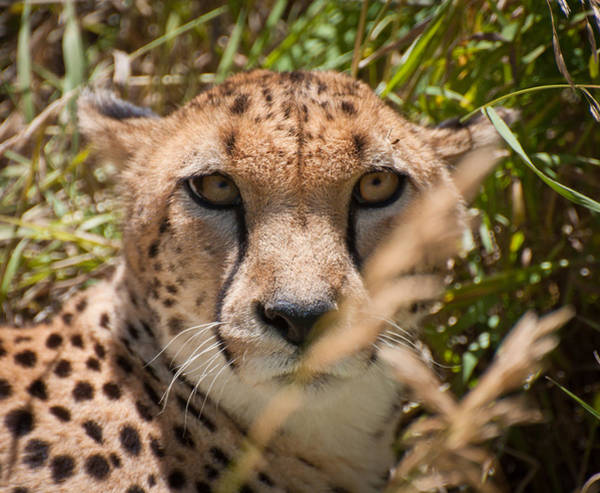 Denver Zoo Photograph - That Cheetah Look by Kevin Munro