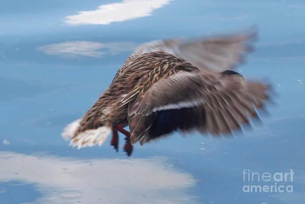 Photograph - That's No Swan Dive by Vivian Martin