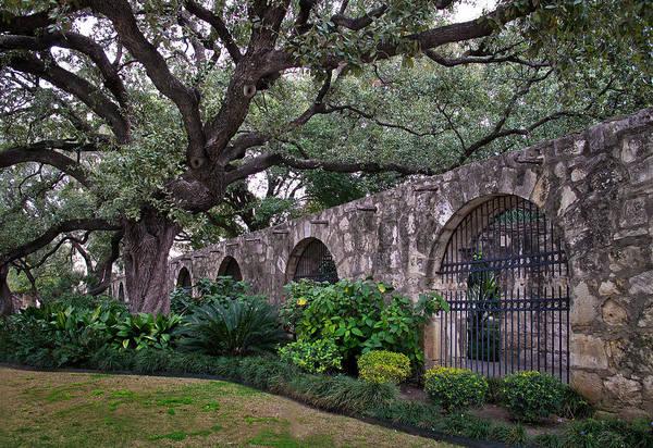 San Antonio Photograph - The Alamo Oak by David and Carol Kelly