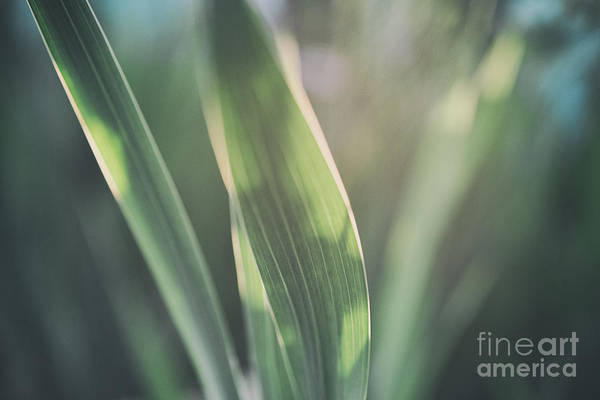 Photograph - The Allotment Project - Sweetcorn Leaves by Clayton Bastiani