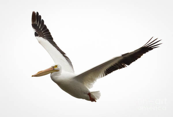 Photograph - The Amazing American White Pelican by Ricky L Jones