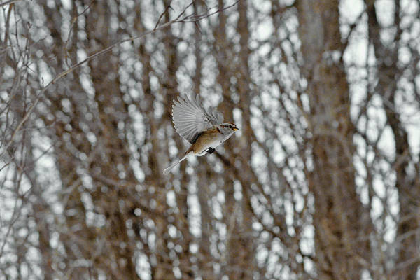 Brown-headed Cowbird Photograph - The American Tree Sparrow In-flight by Asbed Iskedjian