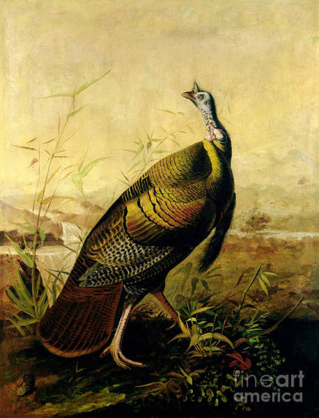 Ornithological Wall Art - Painting - The American Wild Turkey Cock by John James Audubon