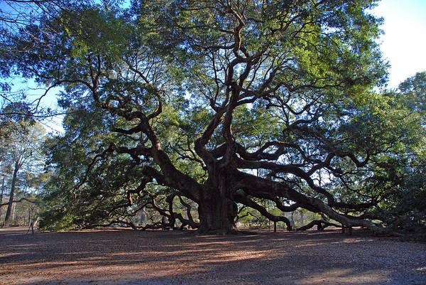 Photograph - The Angel Oak In Spring by Susanne Van Hulst