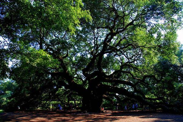 Photograph - The Angel Oak In Summer by Susanne Van Hulst