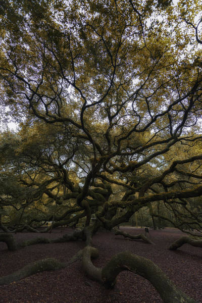 Photograph - The Angel Oak Tree by Rick Berk