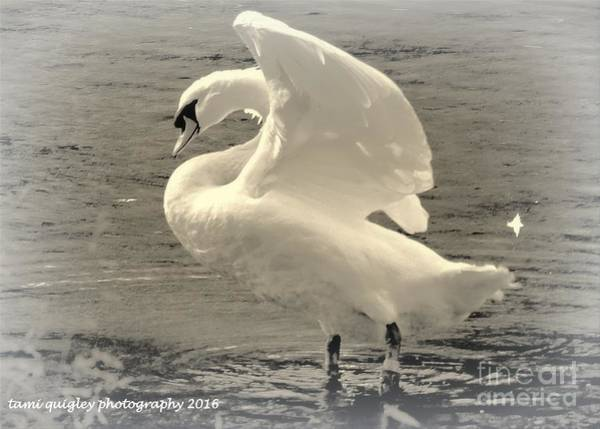 Muhlenberg Photograph - The Art Of The Swan  by Tami Quigley