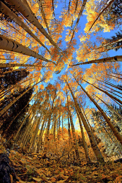 Photograph - The Aspens Above - Colorful Colorado - Fall by Jason Politte