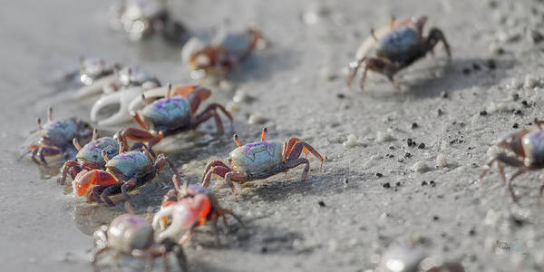 Crab Photograph - The Audience by Betsy Knapp