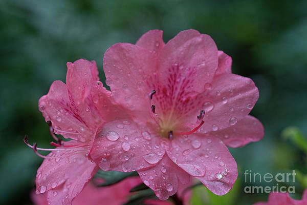 Photograph - The Azalea During A Rain by Dan Friend