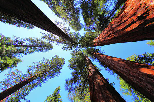 Redwoods Photograph - The Bachelor And The Three Graces by Rick Berk
