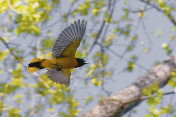 Brown-headed Cowbird Photograph - The Baltimore Oriole In-flight by Asbed Iskedjian