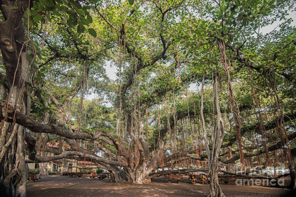 Indian Banyan Photograph - The Banyan Tree by Jim Chamberlain