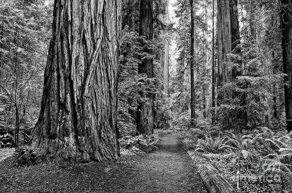 Wall Art - Photograph - The Beautiful And Massive Giant Redwoods by Jamie Pham
