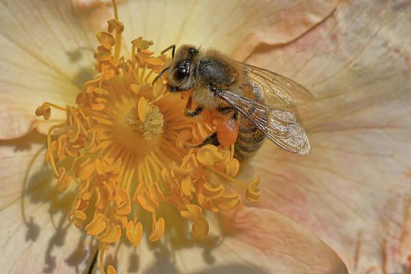 Photograph - The Beautiful Bee by Roberto Aloi