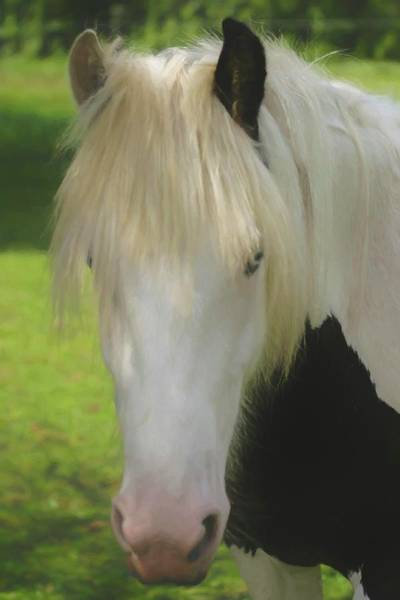 Photograph - The Beautiful Face Of A Gypsy Vanner Horse by Rusty R Smith