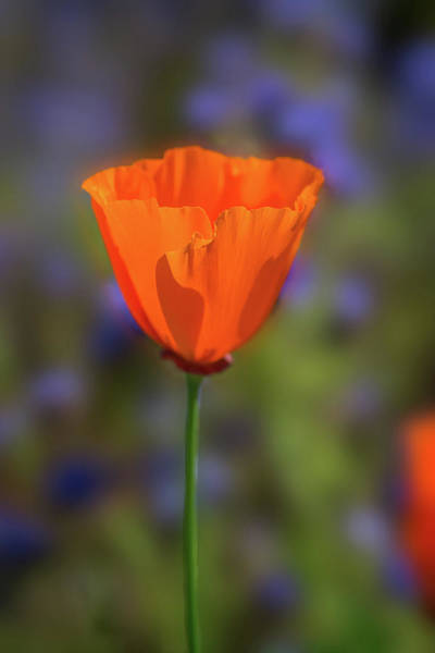 Photograph - The Beauty Of A Poppy by Lynn Bauer