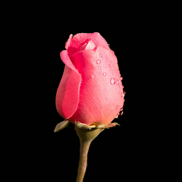 Photograph - The Beauty Of A Rose by Ed Clark