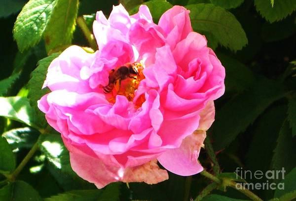 The Bee In The Rose Art Print by Sunaina Serna Ahluwalia