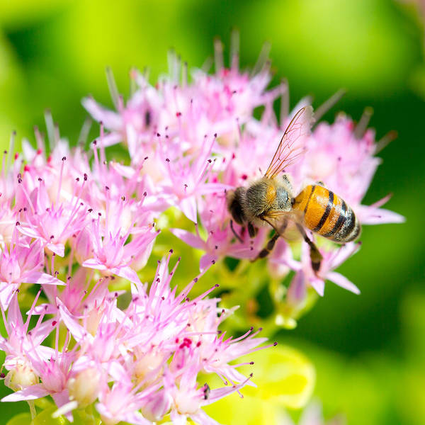 Photograph - The Bee by SR Green