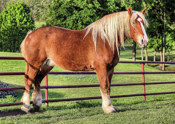 Photograph - The Belgian Draft Horse by JC Findley