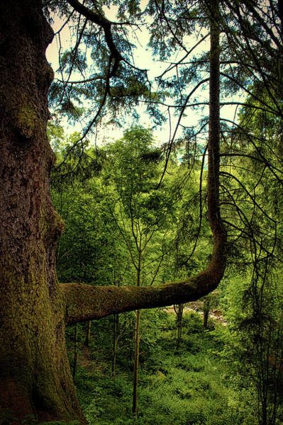 Coniferous Tree Photograph - The Bendy Tree by Martin Newman
