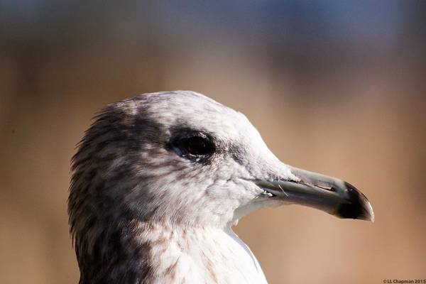 Photograph - The Best Side Of The Gull by Lora Lee Chapman
