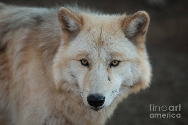 Wall Art - Photograph - The Big Beautiful Wolf by Ana V Ramirez