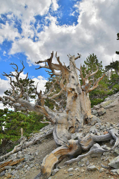 Photograph - The Big Bristlecone by Ray Mathis