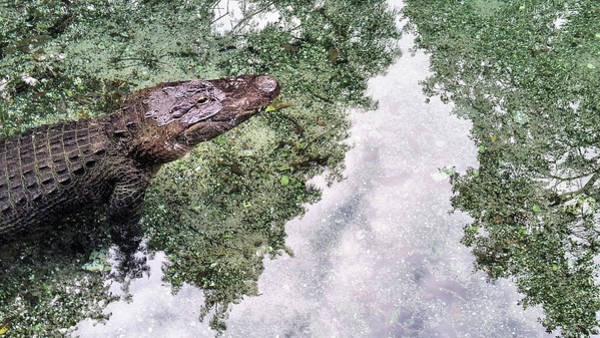 Photograph - The Big Gator by JC Findley