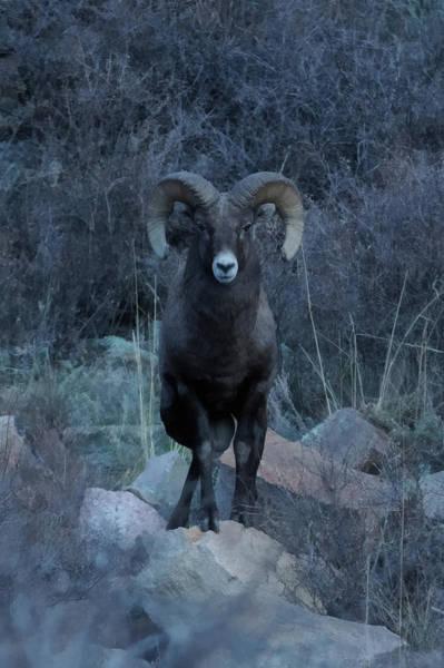 Colorado Wildlife Digital Art - The Big Horn 7 Da by Ernie Echols