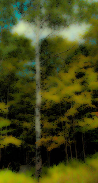 Wall Art - Photograph - The Birch On Maple Ridge by David Patterson