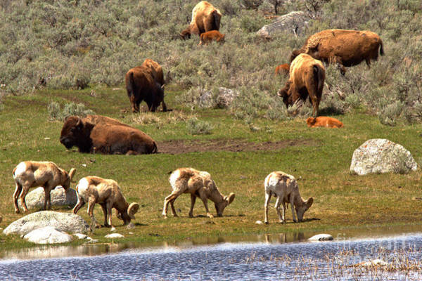 Photograph - The Bison And The Bighorns by Adam Jewell