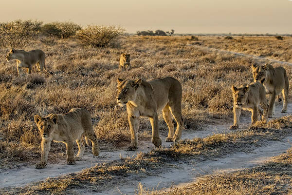 Photograph - The Black Maned Lions Of The Kalahari by Kay Brewer