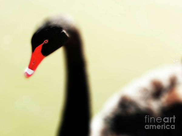 Photograph - The Black Swan . R9566 by Wingsdomain Art and Photography