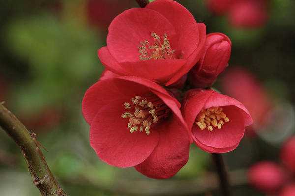 Quince Photograph - The Blooming Red Quince by Connie Handscomb