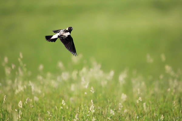 Photograph - The Bobolink In Flight by Bill Wakeley