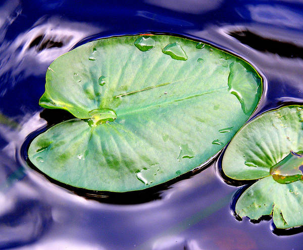 Wall Art - Photograph - The Bonnet House Lily Pad by Sherwanda Irvin