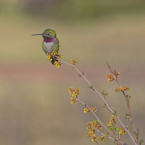 El Paso County Photograph - The Broad-tailed Hummingbird by Luis A Ramirez