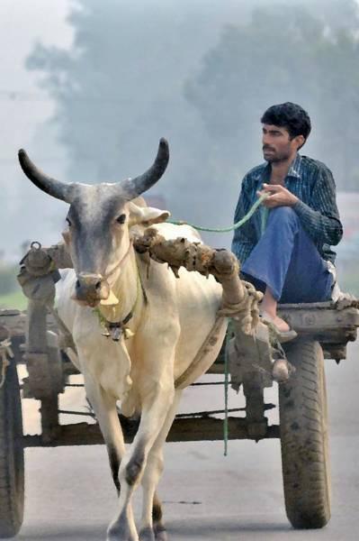Photograph - The Bullock Cart - India by Kim Bemis