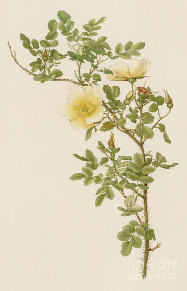 Wall Art - Painting - The Burnet Rose by English School