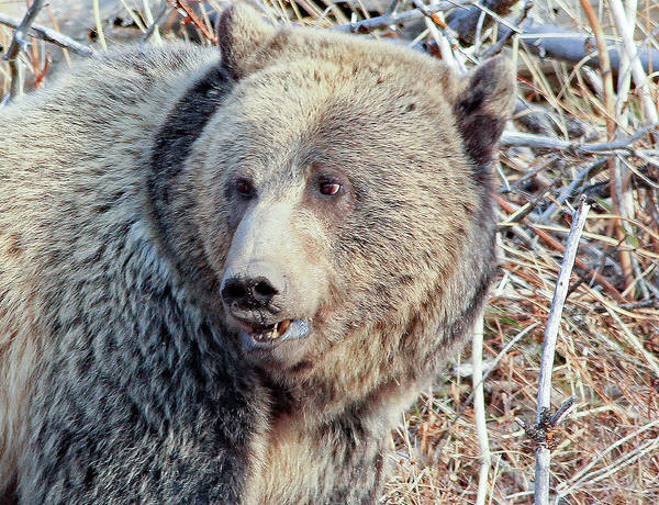 Photograph - The Business End Of A Grizzly by Frank Vargo