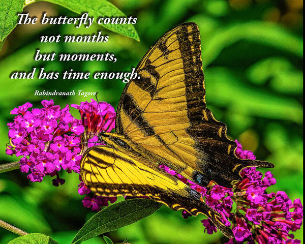 Photograph - The Butterfly Counts Not Months But Moments by Nick Zelinsky