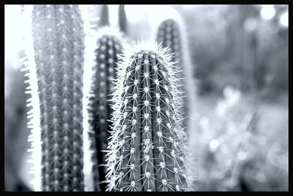 Desert Plant Photograph - The Cacti Family by Courtney Lively
