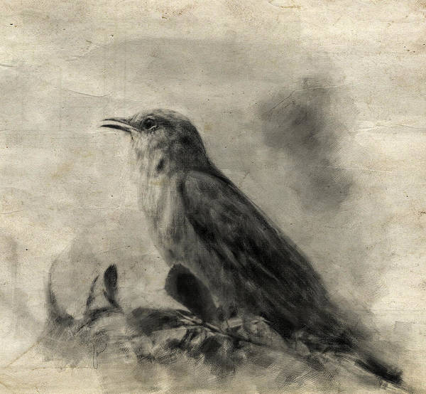 Drawing - The Call Of The Mockingbird by Jai Johnson