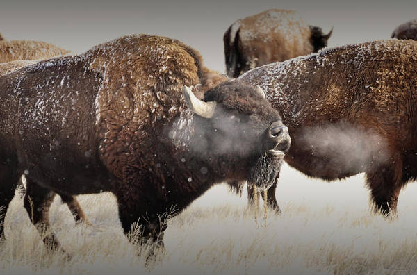 Snorting Wall Art - Photograph - The Call Of The Wild by Brian Gustafson