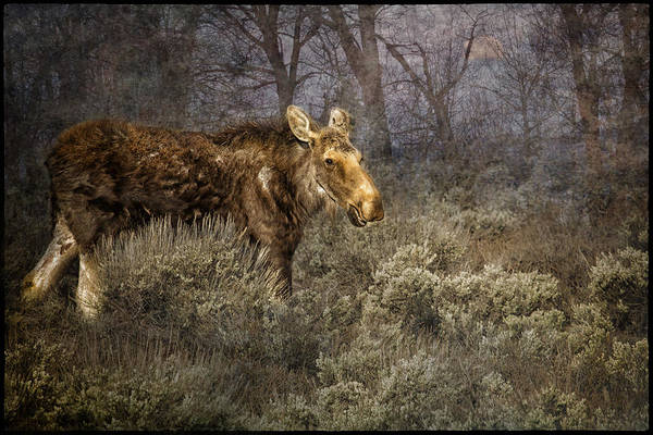 Photograph - The Calm Of A Moose by Belinda Greb