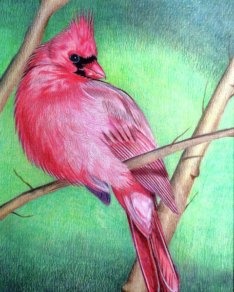 Drawing - The Cardinal by Dustin Miller