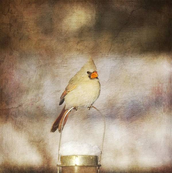 Bird Watching Digital Art - The Cardinal by Heidi Hermes